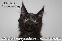 Raccoon-city - Chaton disponible  - Maine Coon