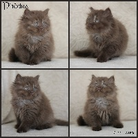 Du Monde De Gaïa - Chaton disponible  - British Shorthair et Longhair