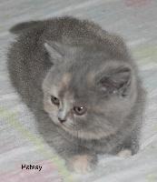 Patssy de La Cour du Roi - British Shorthair et Longhair