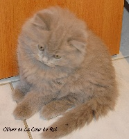 Oliver  - British Shorthair et Longhair