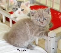 Ostraly de La Cour du Roi - British Shorthair et Longhair