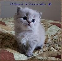 O'belle De L'Hermine Bleue