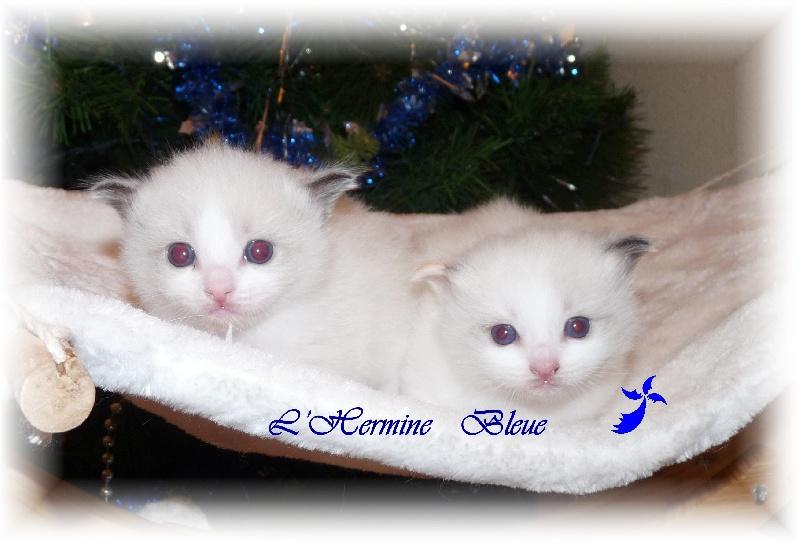 De L'Hermine Bleue - Ragdoll - Portée née le 30/11/2012