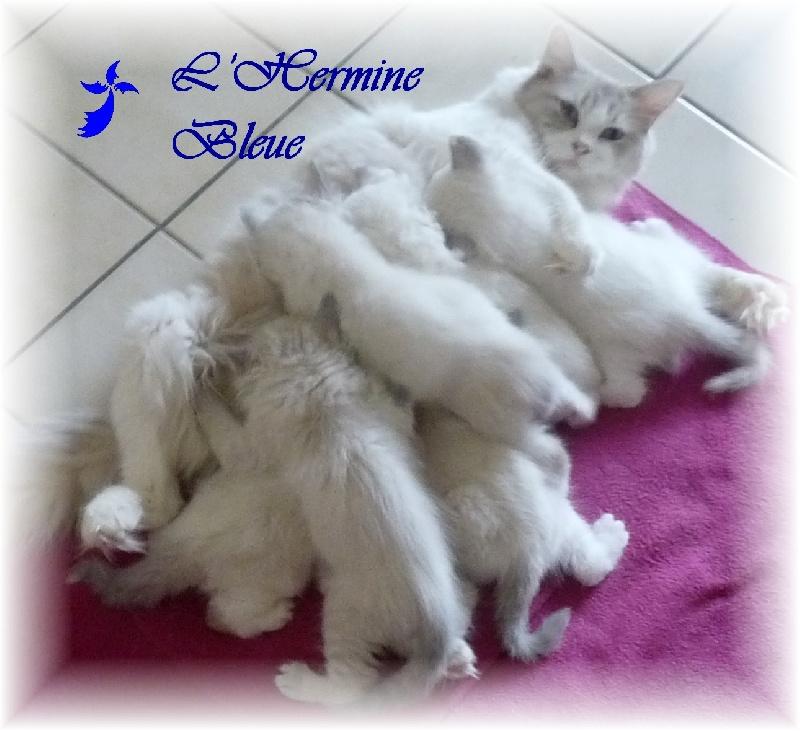 De L'Hermine Bleue - Ragdoll - Portée née le 05/10/2012
