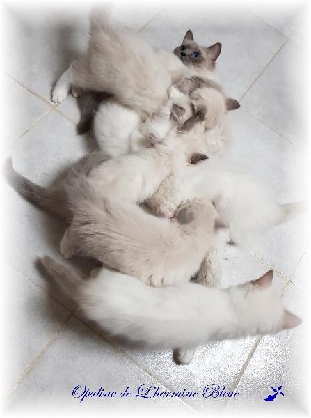 chaton Ragdoll De L'Hermine Bleue