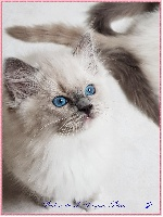 Praline de L'Hermine Bleue