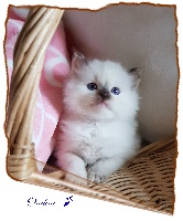 De L'Hermine Bleue - Chaton disponible  - Ragdoll