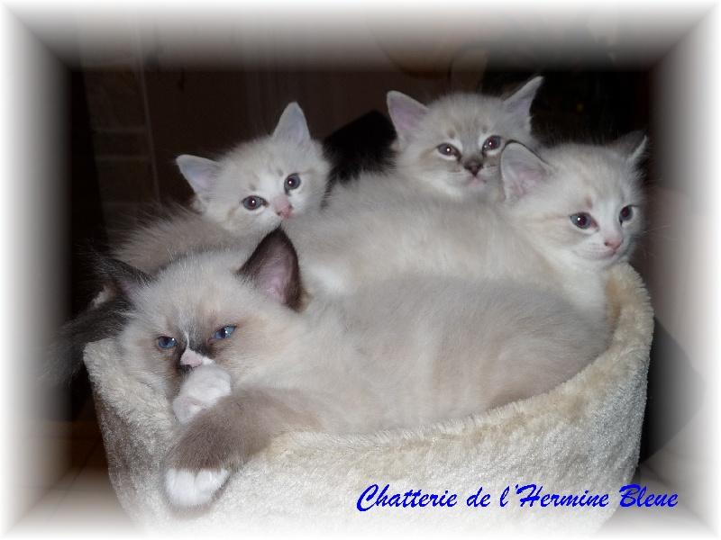 De L'Hermine Bleue - Ragdoll - Portée née le 10/12/2011