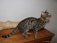 Millions Of Kiss - Chaton disponible  - Bengal