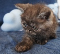 CHATON - Exotic Shorthair