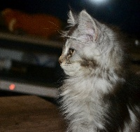 Philae - Maine Coon