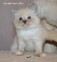 Meow Meow - Chaton disponible  - Ragdoll