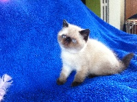pep'one - Exotic Shorthair