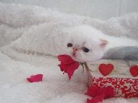 oh love me - Exotic Shorthair