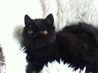 Mad Love's - Chaton disponible  - Exotic Shorthair