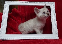 Cat's Cradle - Chaton disponible  - Bengal