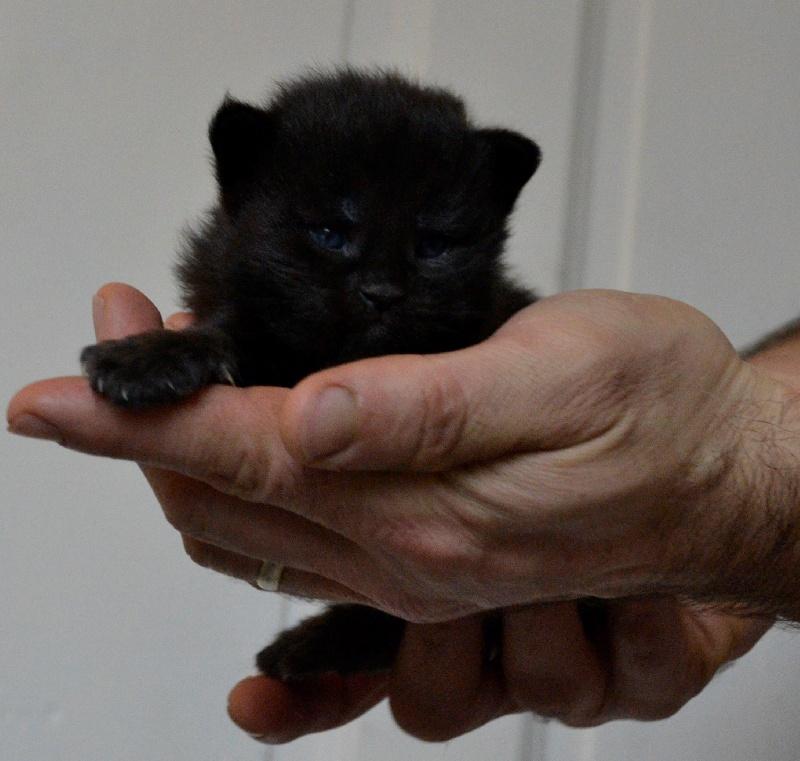 Mâle black solide, la panthère noire! -