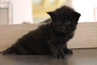 Mâle black solide - Maine Coon
