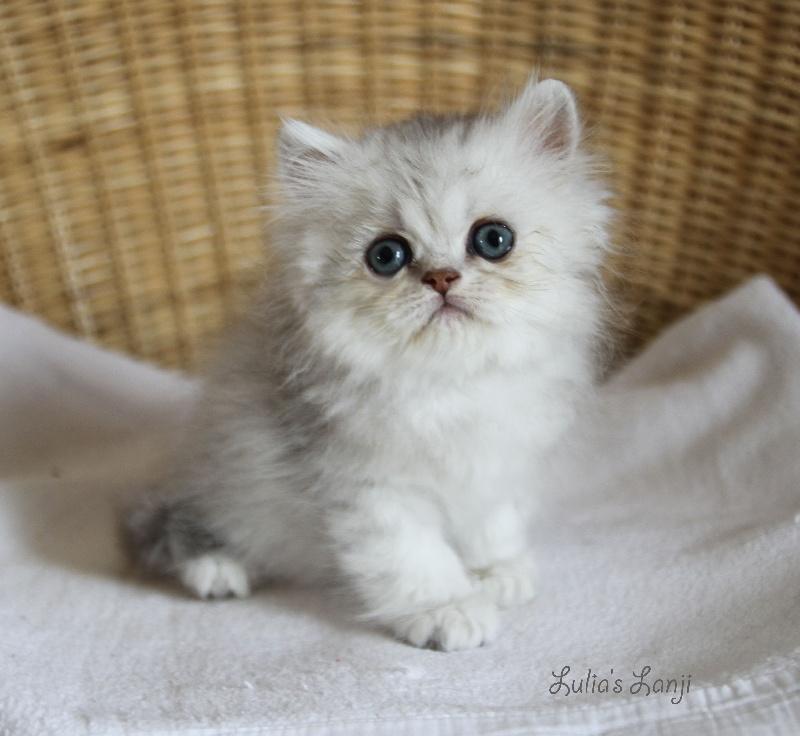 chaton Persan lulia's