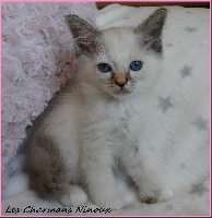 Des Charmans Ninoux - Chaton disponible  - Sacré de Birmanie