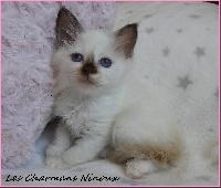 Des Charmans Ninoux - Chaton disponible  - Sacré de Birmanie