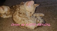ORION - Bengal
