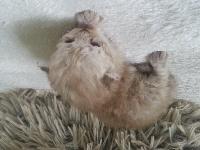 Kallisté - Chaton disponible  - Selkirk Rex poil court et poil long