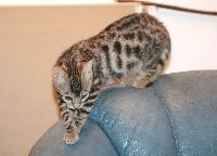 OLESYA - BENGAL femelle brown LOOF - Bengal