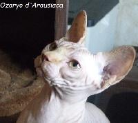 OZARYO D'ARAUSIACA - Sphynx