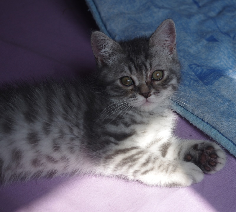 ONLY U Blue Silver spotted Tabby -