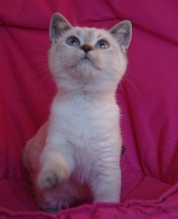 ONDINE (seal tabby point) - British Shorthair et Longhair