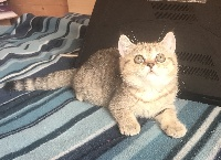 CHATONNE 2 - British Shorthair et Longhair