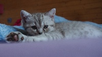 ORNELLA Chocolat Silver Spotted Tabby - British Shorthair et Longhair