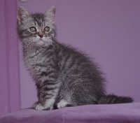 ONLY U Blue Silver spotted Tabby - British Shorthair et Longhair