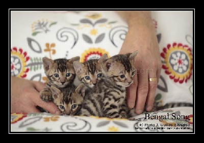 Bengal Song - Chatons bengals brown et snow à réserver
