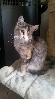 De Yellow House - Chaton disponible  - Maine Coon