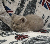 CHATON n° 2 - British Shorthair et Longhair