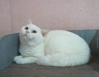 De La Source Rochette - Chaton disponible  - British Shorthair et Longhair