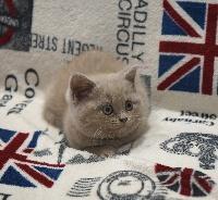 SAKURA - British Shorthair et Longhair
