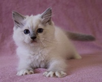 De Kind Of Magic - Chaton disponible  - Ragdoll
