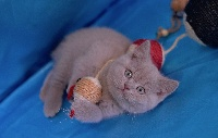 CHATON - British Shorthair et Longhair