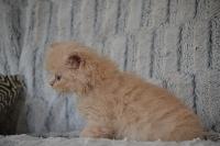 scoubidou - British Shorthair et Longhair