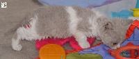 Pavane - Selkirk Rex poil court et poil long