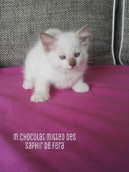 chaton Ragdoll Des Saphir De Fera