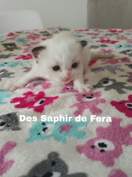 Des Saphir De Fera - Ragdoll - Portée née le 13/11/2018