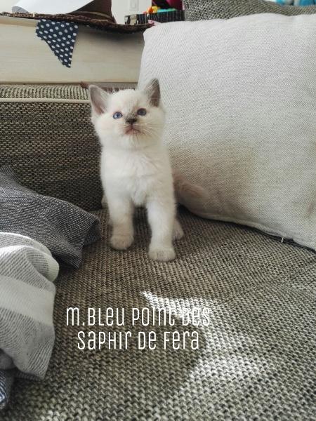 Des Saphir De Fera - Ragdoll - Portée née le 21/07/2020
