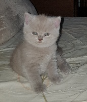 D'Elendë - Chaton disponible  - British Shorthair et Longhair