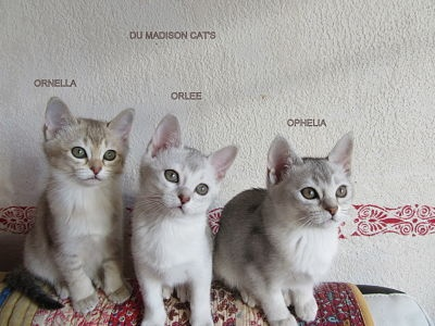 chaton Burmese anglais (Burmilla...) Du Madison Cat's