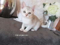 Du Madison Cat's - Chaton disponible  - Burmese anglais (Burmilla...)