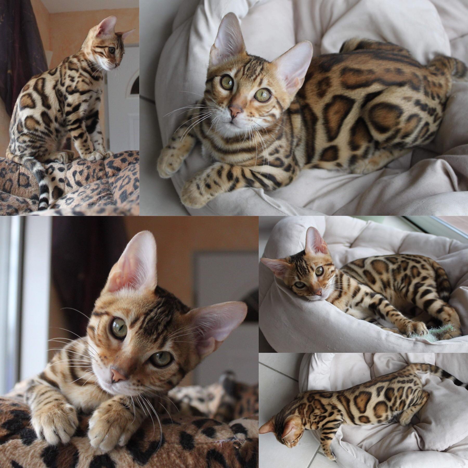 chaton Bengal Pop Bengal